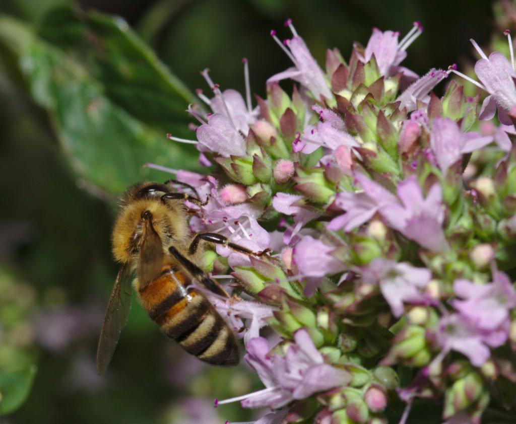 Biene auf einer Majoran-Blüte