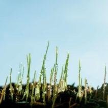 Junge Grashalme Nach Regen