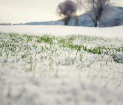 G3-Gras Im Schnee