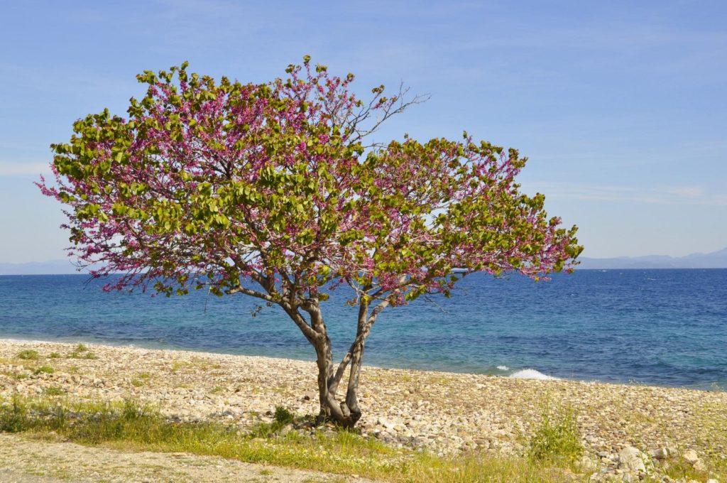 Kirschbaum wächst an Küste