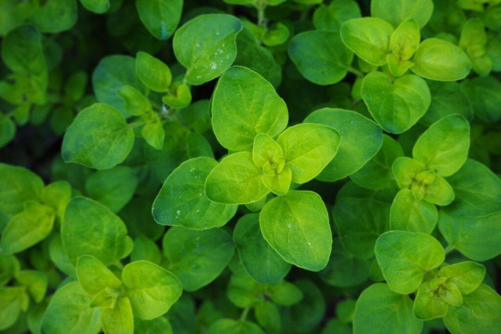Blätter von Majoran