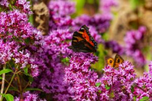 Blühender Majoran Mit Schmetterling