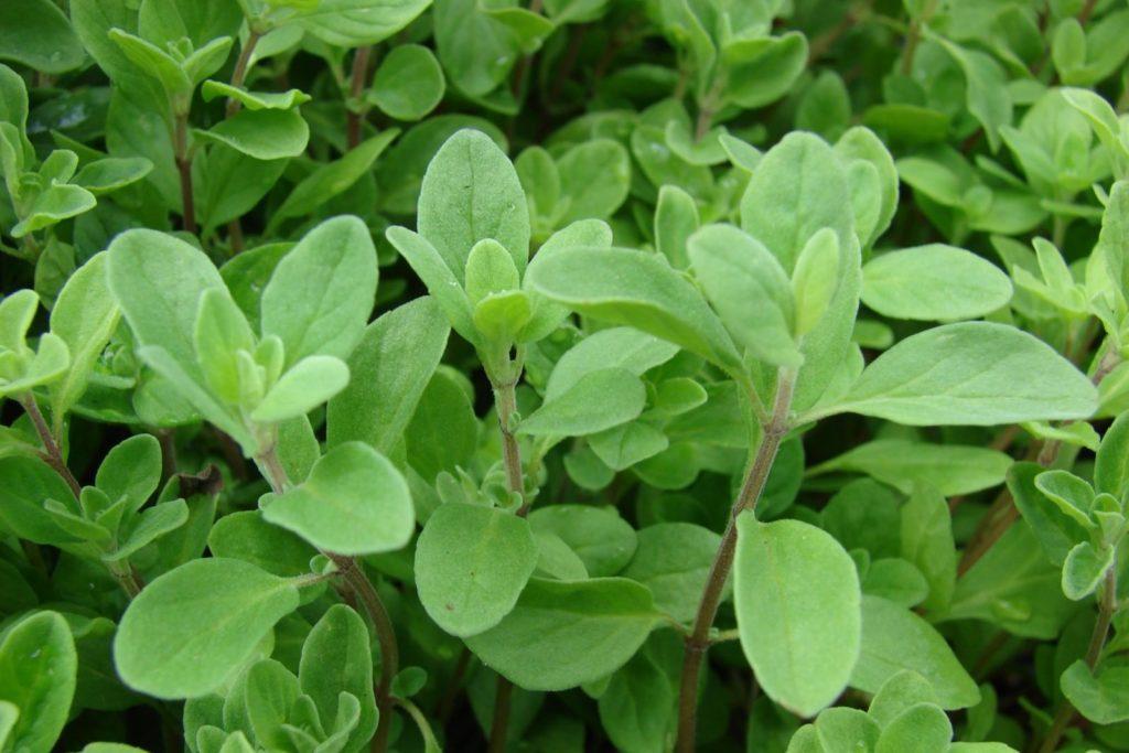 Majoran mit grünen Blättern im Garten