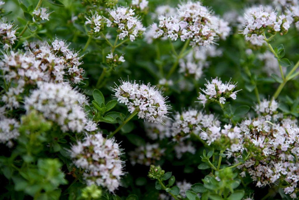 Majoran mit weißen Blüten
