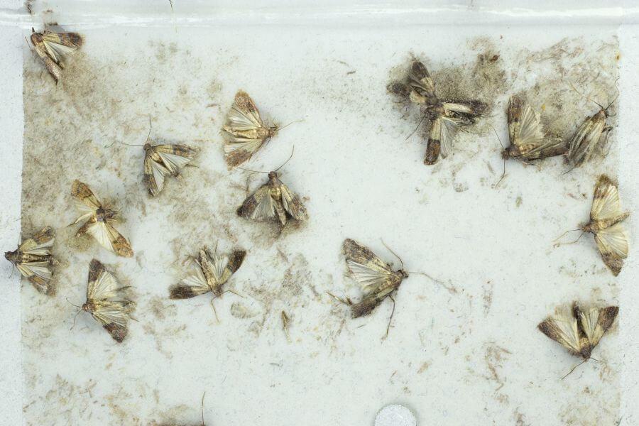 Mehlmotten auf einer Klebefalle gefangen