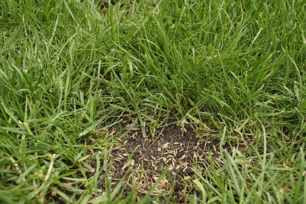 Beschädigter Rasen mit Rasensamen ausgebessert