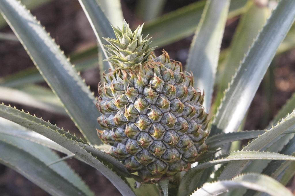reifende teure Ananas aus den Lost Gardens of Heligan