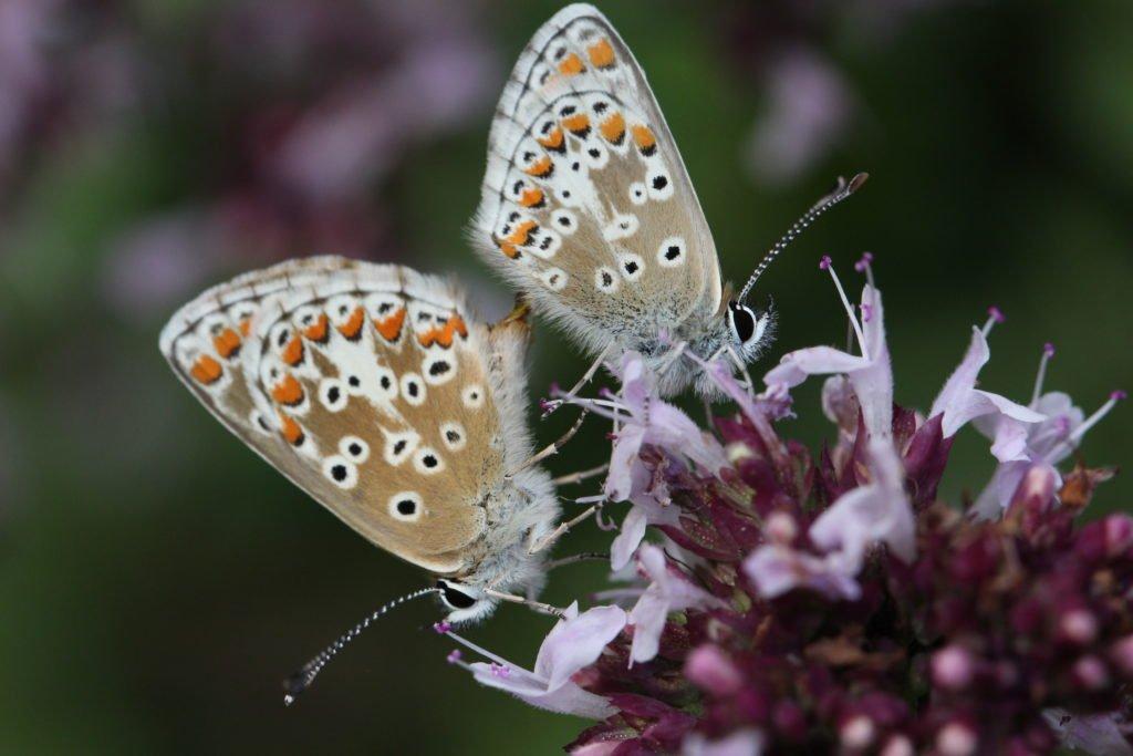 Schmetterling auf einer Majoran-Blüte
