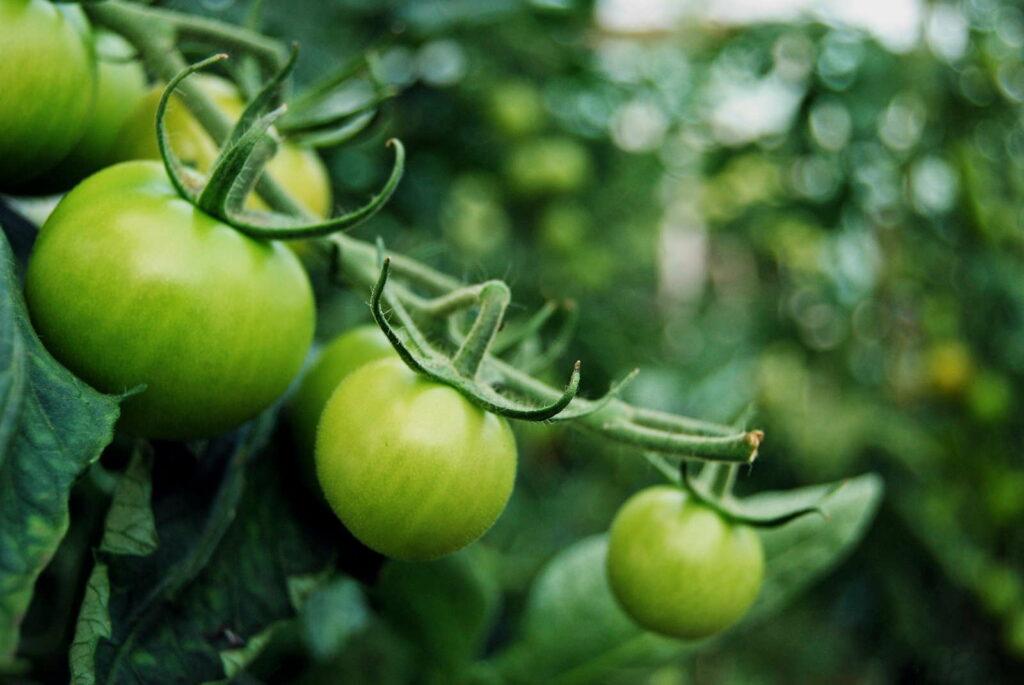 grüne Tomaten am zweig