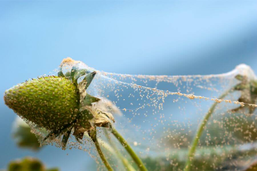 Spinnmilbengespinste an Erdbeere