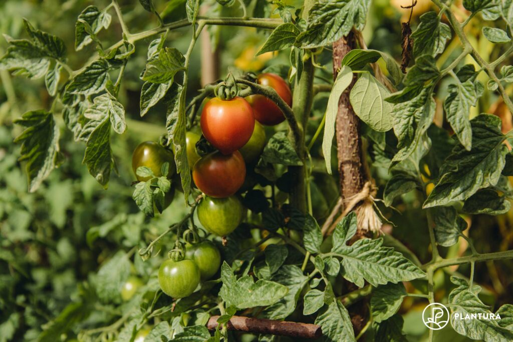 Reife Tomaten an der Pflanze