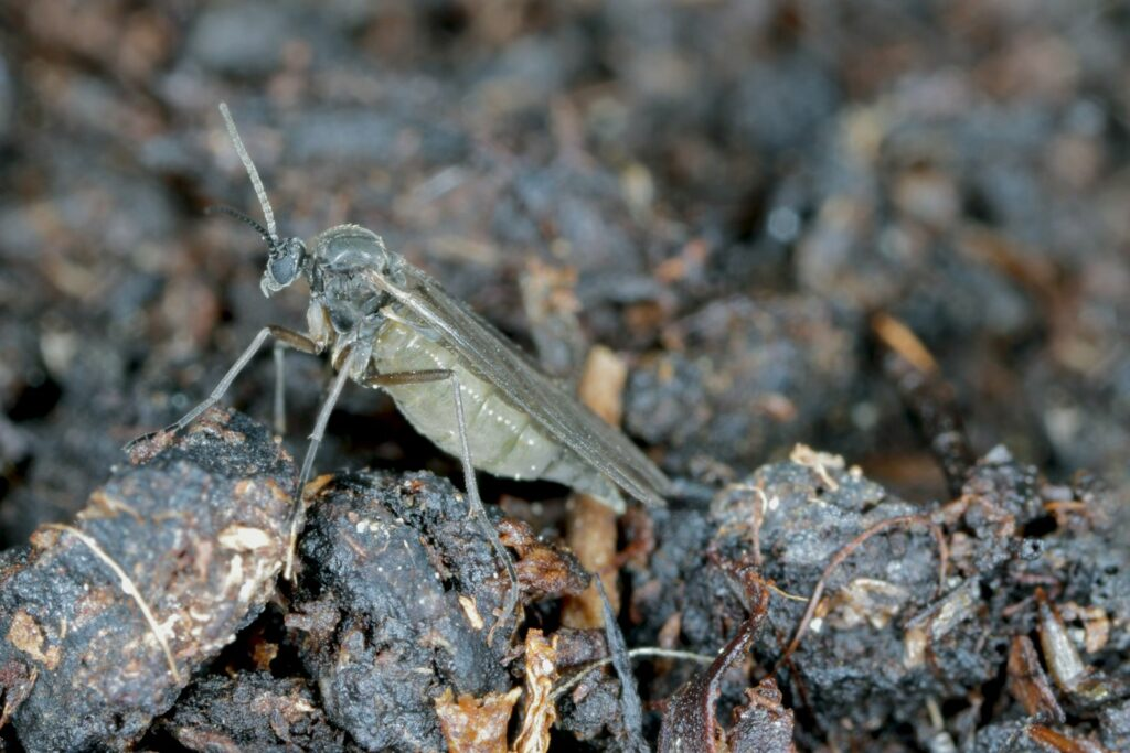 Trauermücken bekämpfen: So wird man die Fliegen in der Blumenerde los