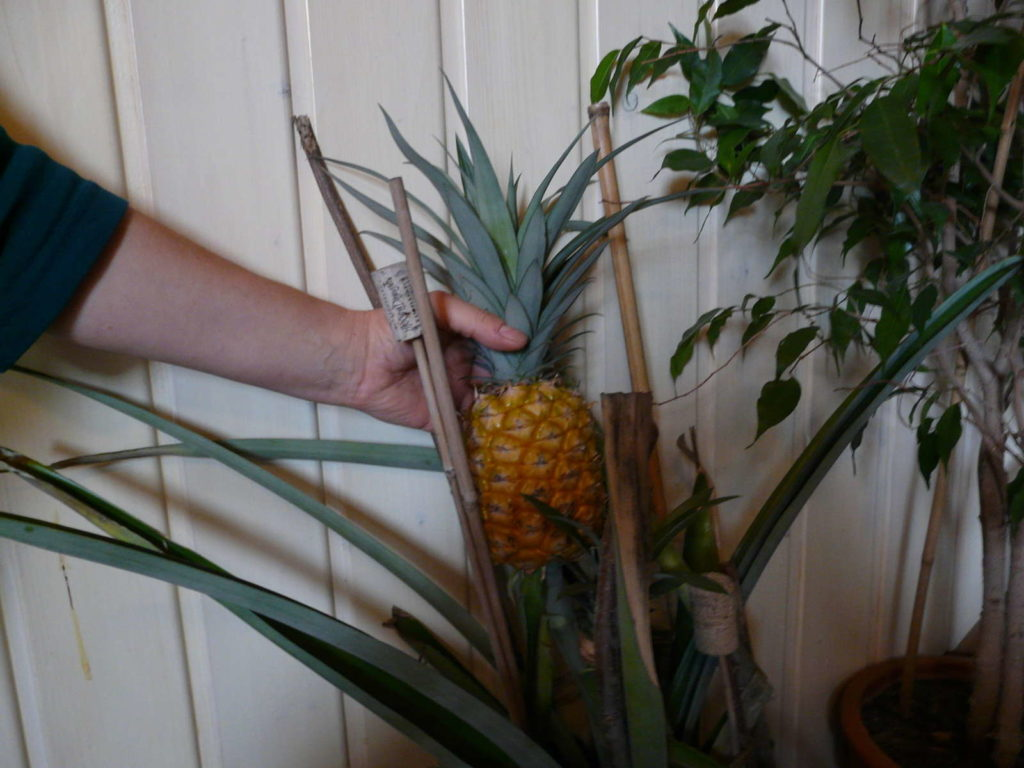 Ananas regrowing zu hause pflanze