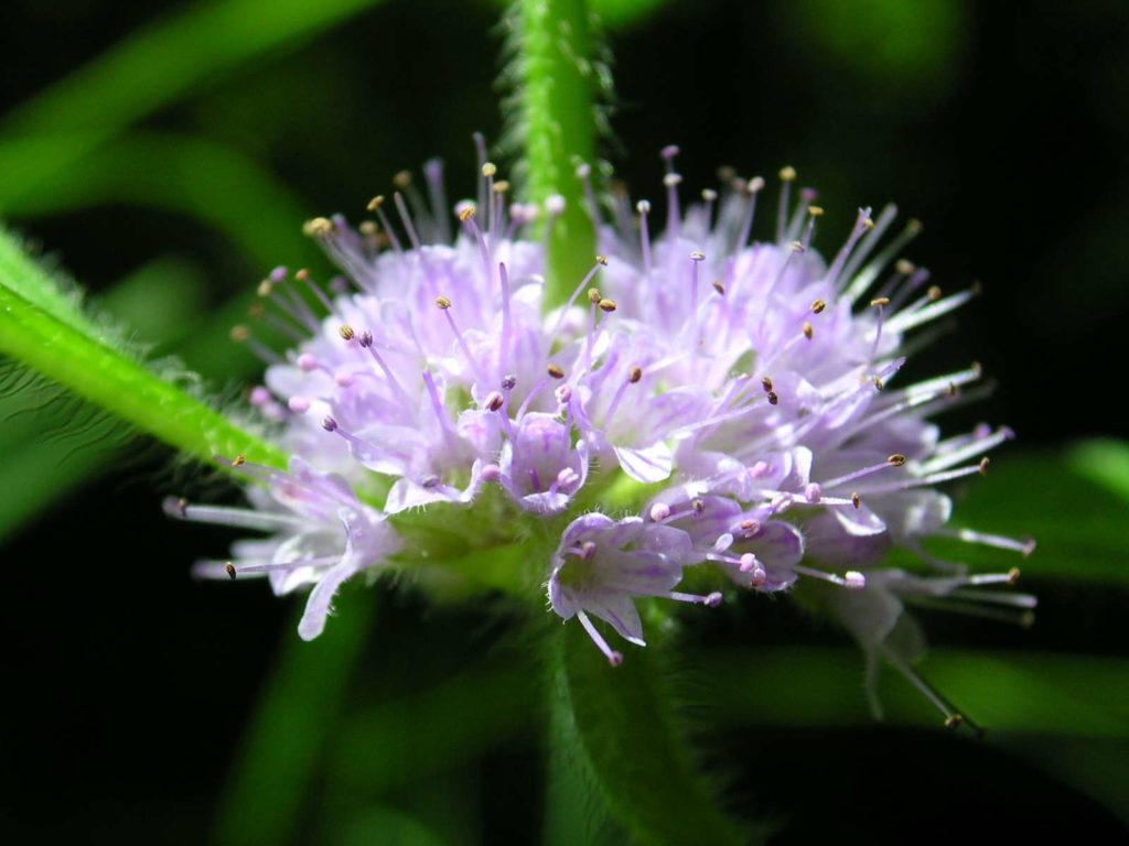 Ackerminze Blüte nahaufnahme