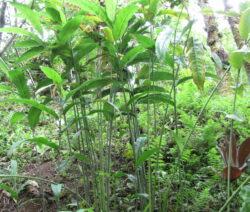 Alpinia Galanga Pflanze