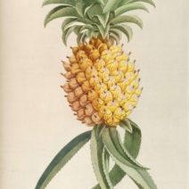 Botanische Darstellung Der Ananas