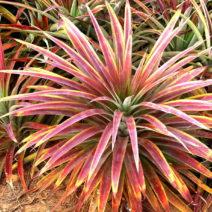 Ananaspflanze Mit Roten Blättern