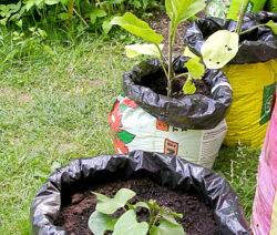 Aubergine Und Süßkartoffeln In Gartenerdesäcken