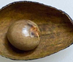 Avocado Schale Mit Kern Ohne Fruchtfleisch