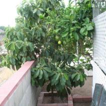 Avocadobaum Auf Balkon