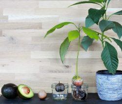 Anbauen Und Einpflanzen Vom Avocadokern