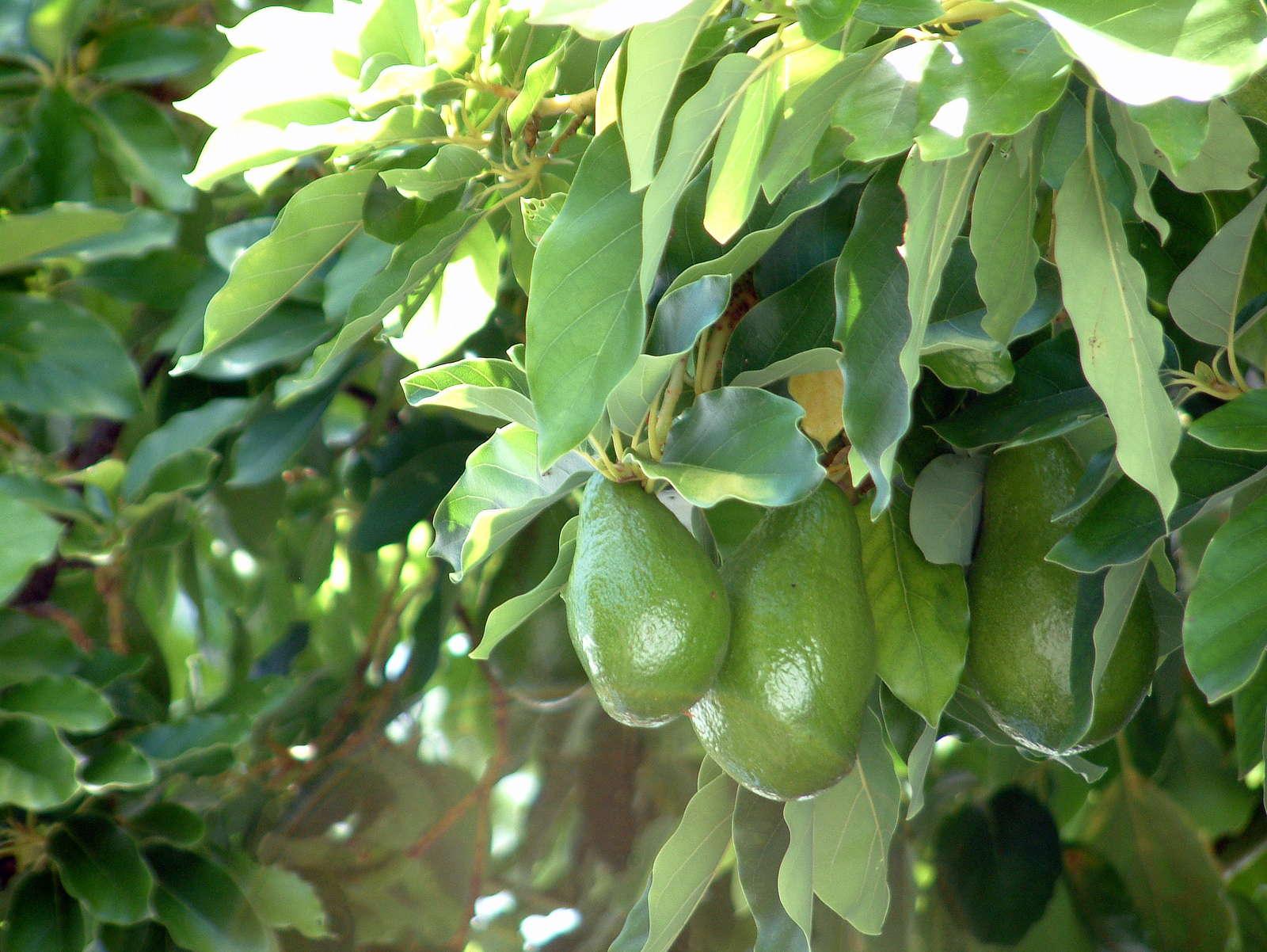 avocadokern einpflanzen zahnstocher avocado selbst anpflanzen avocado crme dip avocado. Black Bedroom Furniture Sets. Home Design Ideas