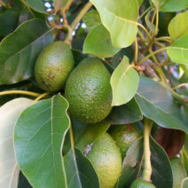 Erntereife Avocados Am Baum