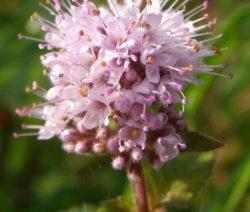 Bachminze Blüte Nahaufnahme