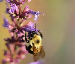 Biene Sammelt Nektar In Ysopblüte