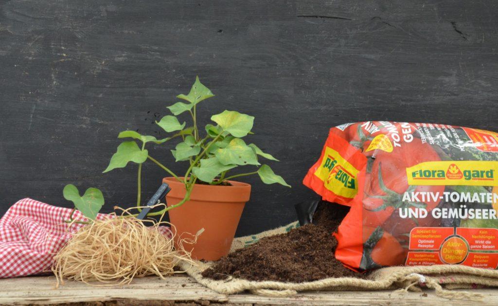Süßkartoffel im Topf mit Erde