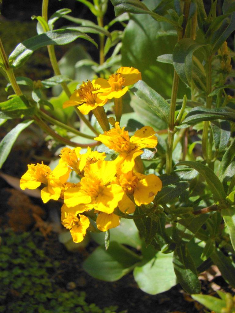 Estragon Blüte gelb