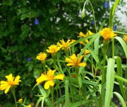 Estragon Blüte Gelb Im Garten