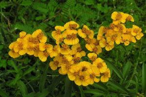 Gelbe Blüte Estragon Im Garten