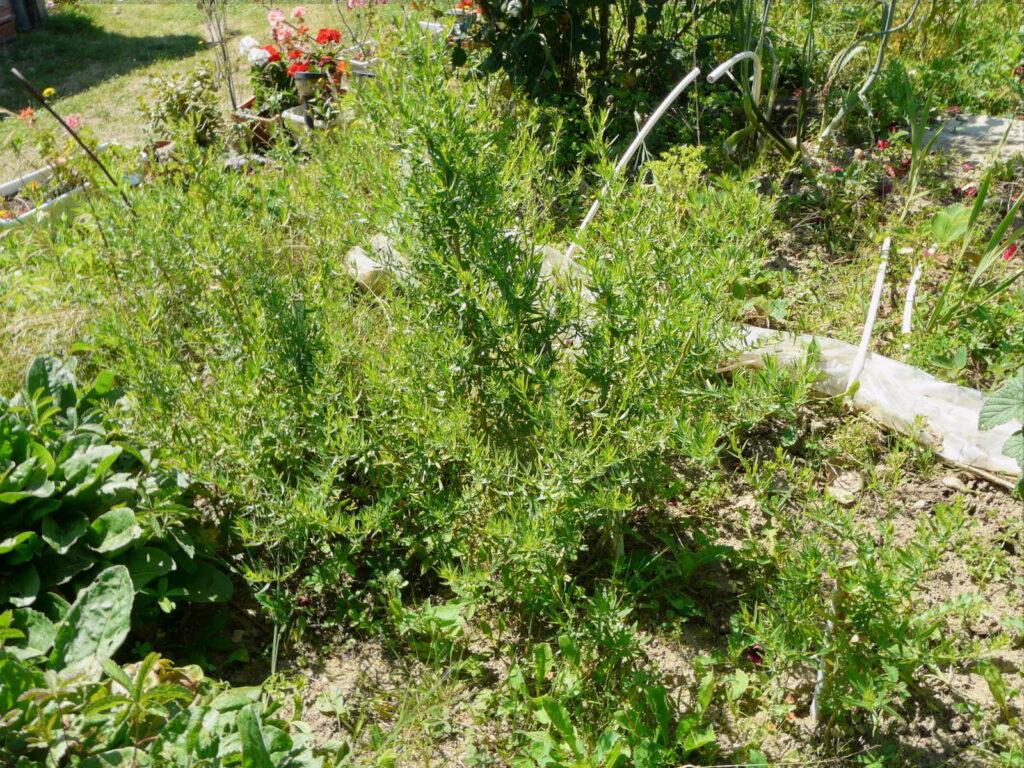 Estragon im gArten anbauen