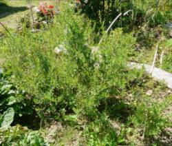 Estragon Im Garten