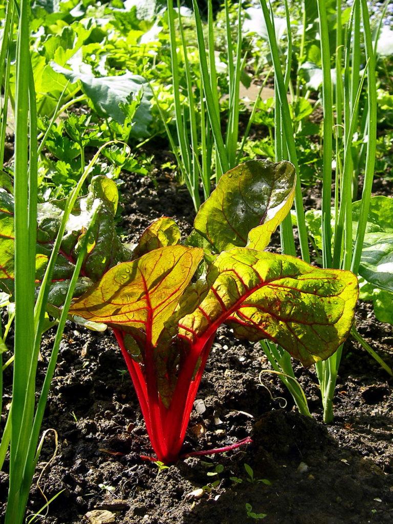 Frühlingszwiebel als Mischlutur mit Mangold im Beet