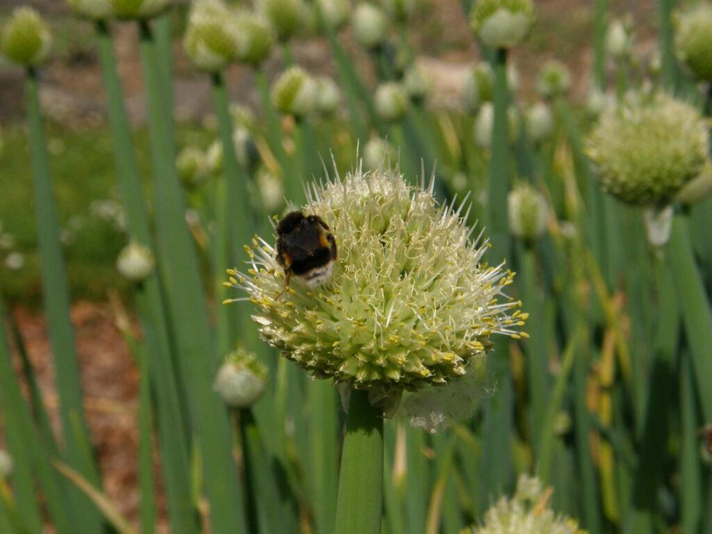 Hummel auf Blüre Frühlingszwiebel