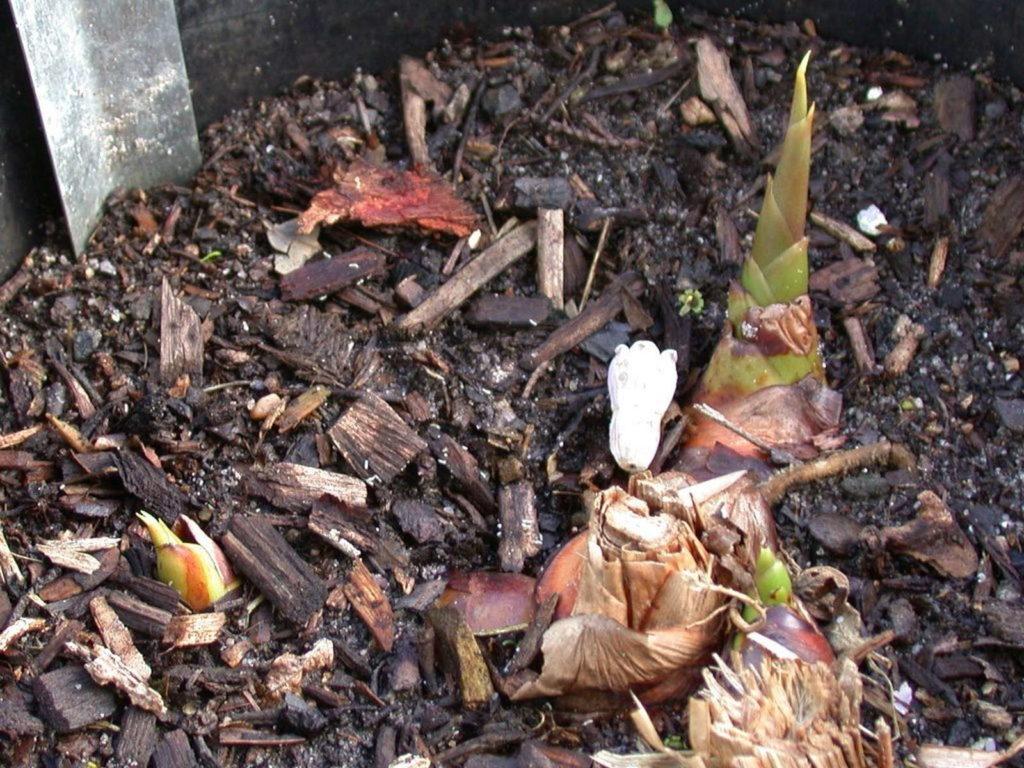 Galgant im Garten anbauen