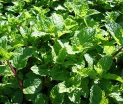 Grüne Minze Im Beet