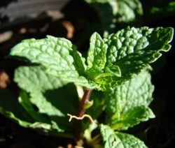 Grüne Minze Junge Blätter Nah