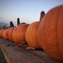 Halloweenkürbis In Reihe