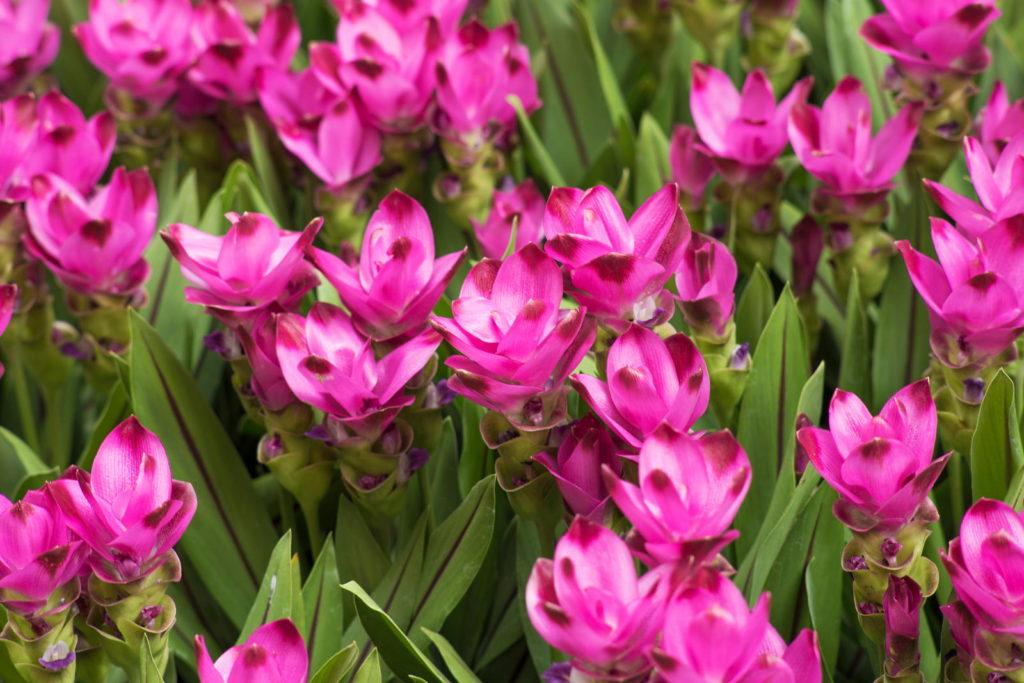Kurkumablüten in Pink