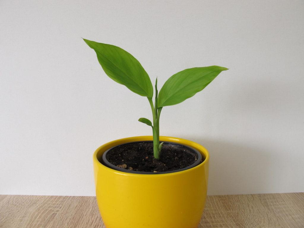 Kurkumapflanze im Topf drinnen