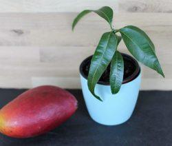 Mango Neben Junger Mangopflanze