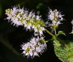 Minze Blüte