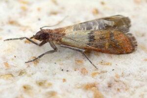 Lebensmittelmotten: Die Motten in der Küche erkennen & bekämpfen