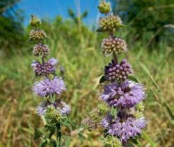 Poleiminze Violette Blüten