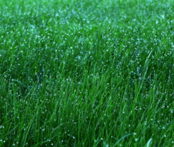 Rasen Mit Morgentau