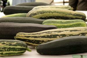 Riesen Zucchini Sorten