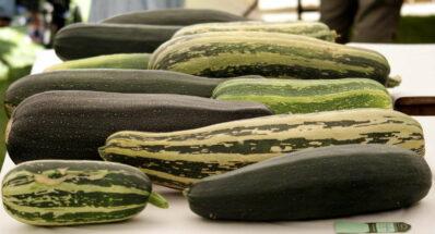 Riesenzucchini Marrow: 60 Kilo und mehr